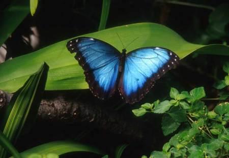 bluemorphobutterfly1.jpg