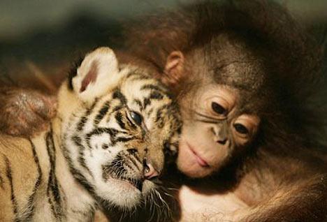 Image result for orangutan pictures